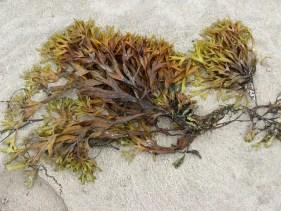seaweed-9070_640.jpg