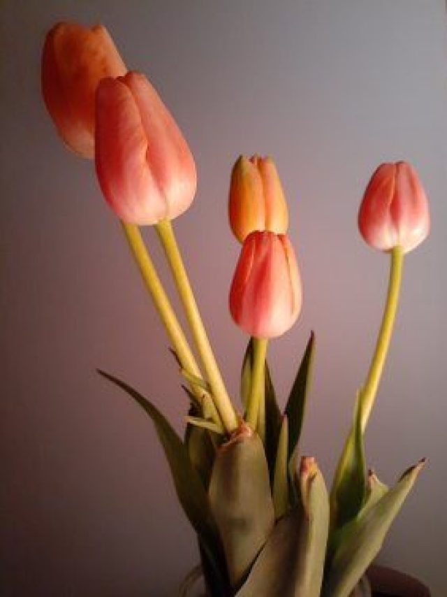 Peach Tulips__20200513_032404.jpg