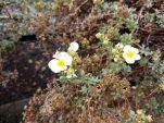 Sunrose Willow Flower__20210914_103341.jpg