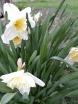 Easter Lily__20200416_183408.jpg