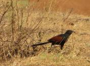 Southern Coucal, Chengalpet