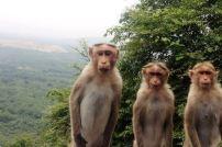 Bonnet_Macaques