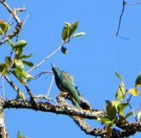 Blue-bearded Bee-Eater, Palani Hills