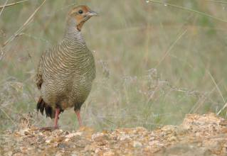 Grey Francolin, Pulicat