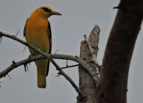 Golden Oriole (male), Vedanthangal