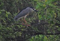 Black-Crowned Midnight Herons, Vedanthangal