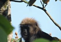 Black Langur
