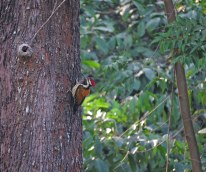 Lesser Golden Backed Woodpecker