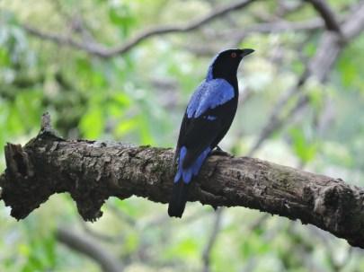 Asian Fairy Bluebird (male)