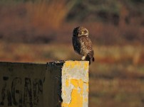 Spotted Owl, Ponneri