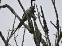 Malabar Parakeets, Thekkady