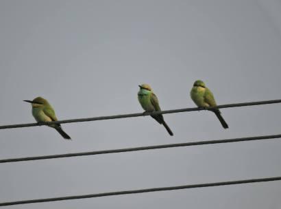 Green Bee Eaters, Pulicat