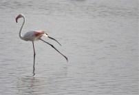 Greater Flamingo, Sholinganallur