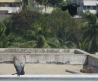 Rock Dove / House Crow, Chenai
