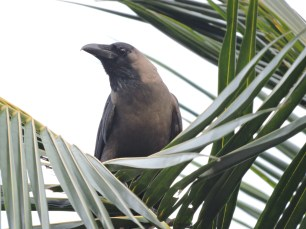 Indian House Crow, Chennai