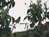Plum-Headed Parakeet (female), Kerala