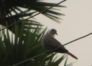 Eurasian Collared Dove, Kodaikanal
