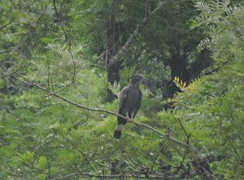 Serpent Crested Eagle, Valparai