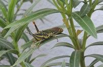 Painted Grasshopper, Chennai