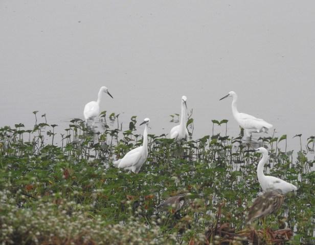 Little Egrets, Chennai