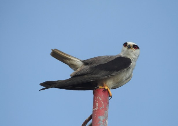 Black-Winged Kite, Chennai