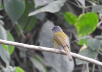 Canary-Headed Flycatcher, Kodaikanal