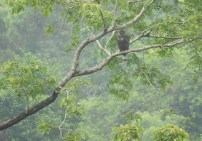 Crested Hawk Eagle, Anaimalai Hills