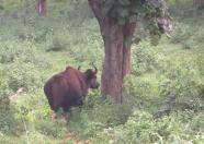 Indian Gaur, Mudumalai