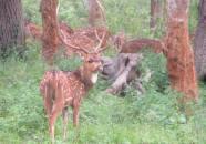 Spotted Deer, Mudumalai