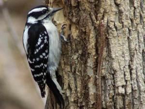 woodpecker-wallpaper-3