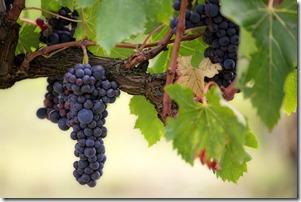 Raisins sur Vigne