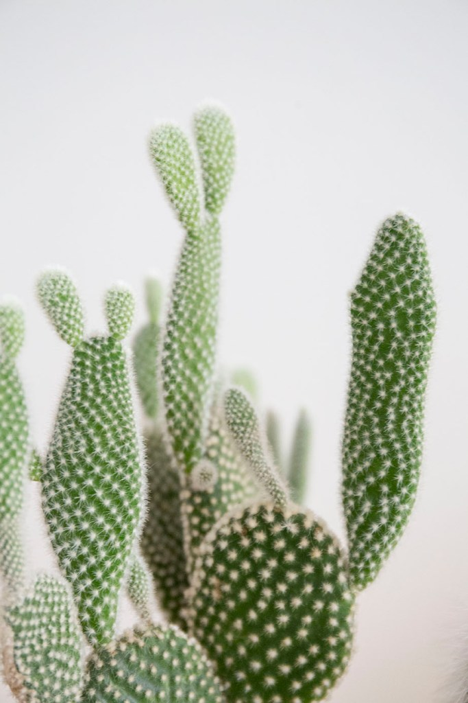 plante cactus verte