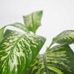 grande plante panache feuille