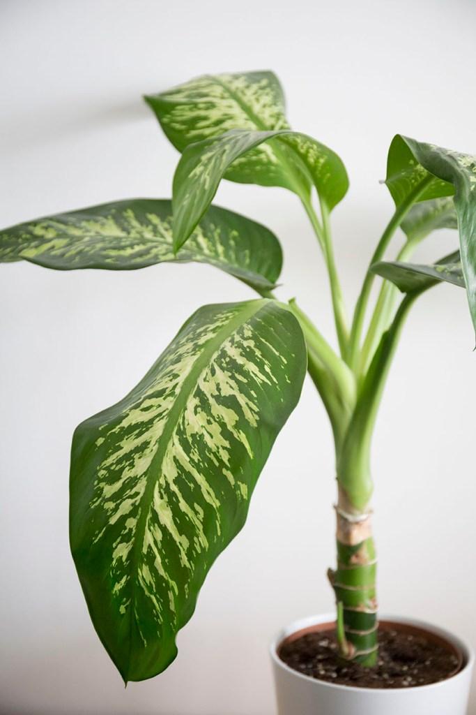 plante depolluante dieffenbachia
