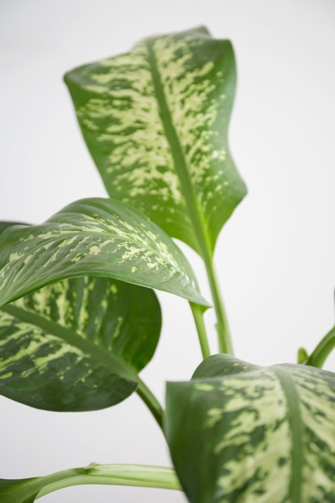 plante grande dieffenbachia