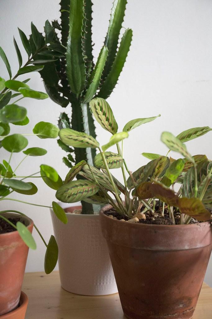 maranta plante robuste
