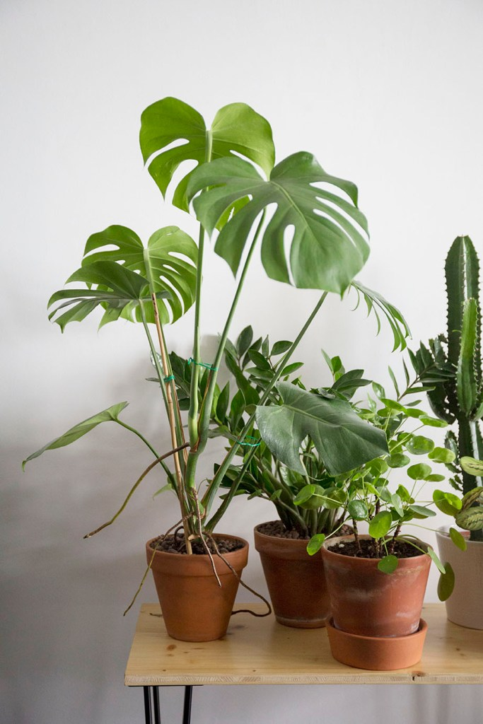 monstera pilea plantes