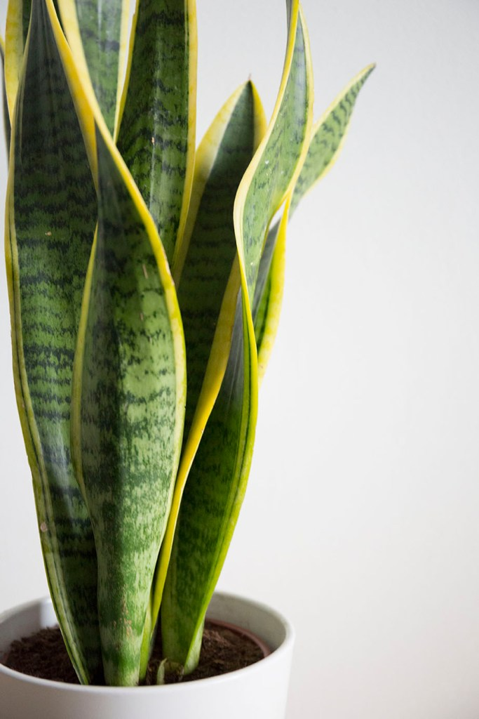 plante verte sansevieria