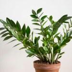 plante zamioculcas vertes