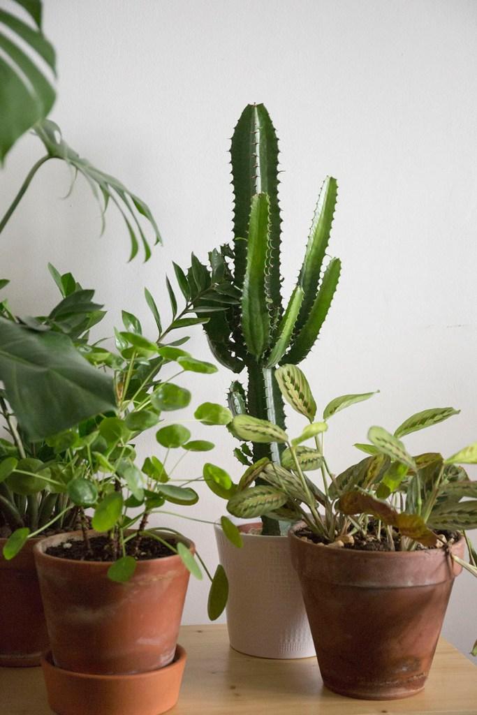 plantes euphorbe robuste