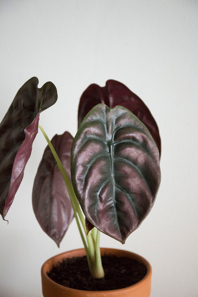 cuprea alocasia plante