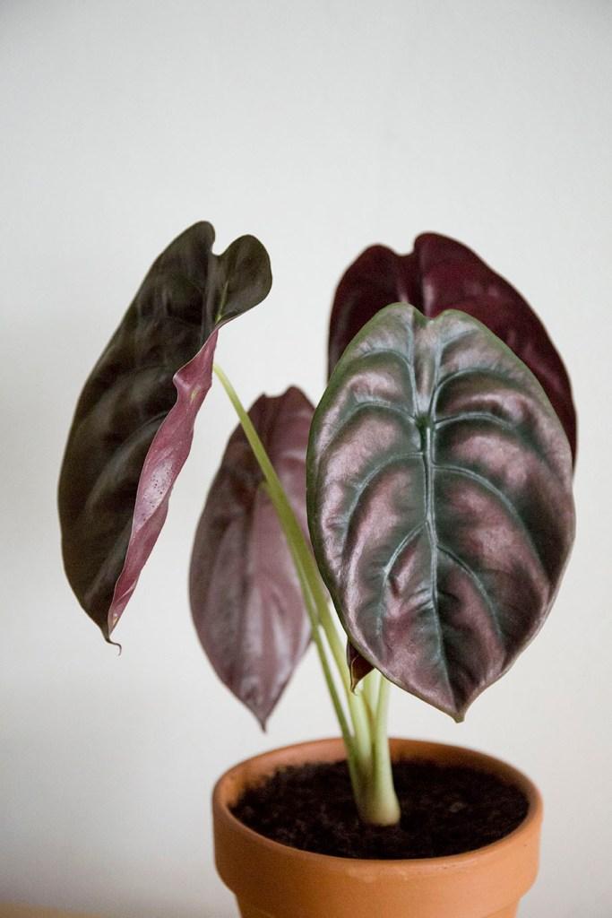 plantes alocasia
