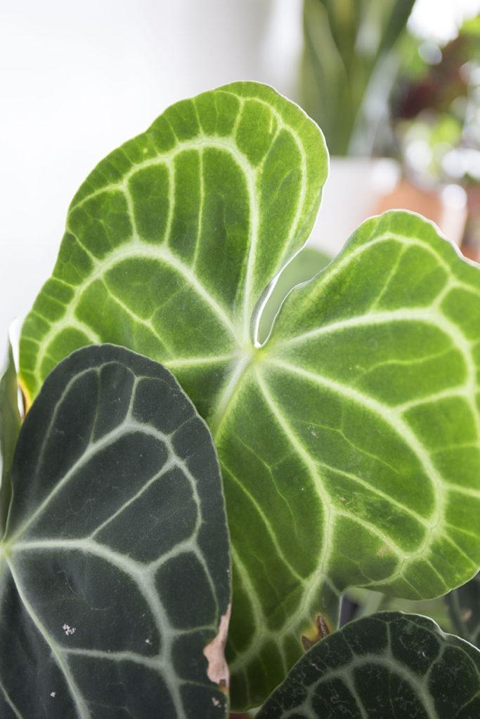 plantes verte anthurium