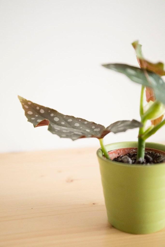 bambou begonia