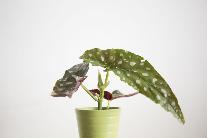 maculata begonia bambou