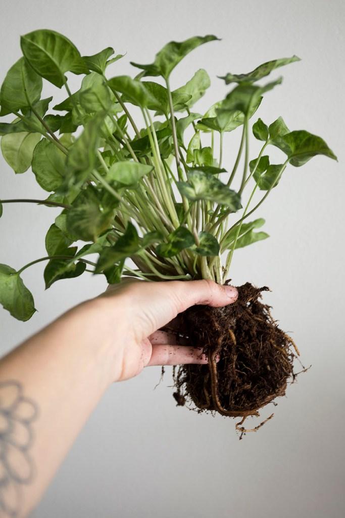 plantes rempotage interieur