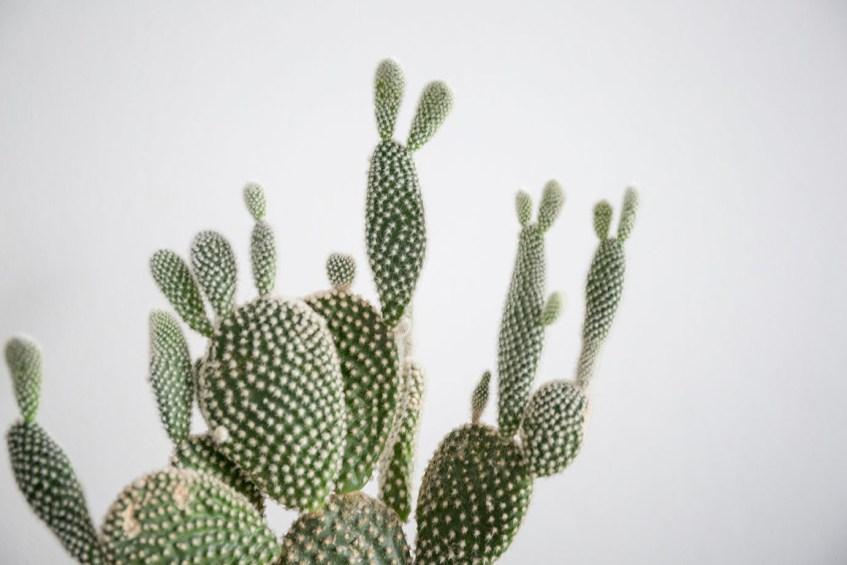 boutures cactus plantes