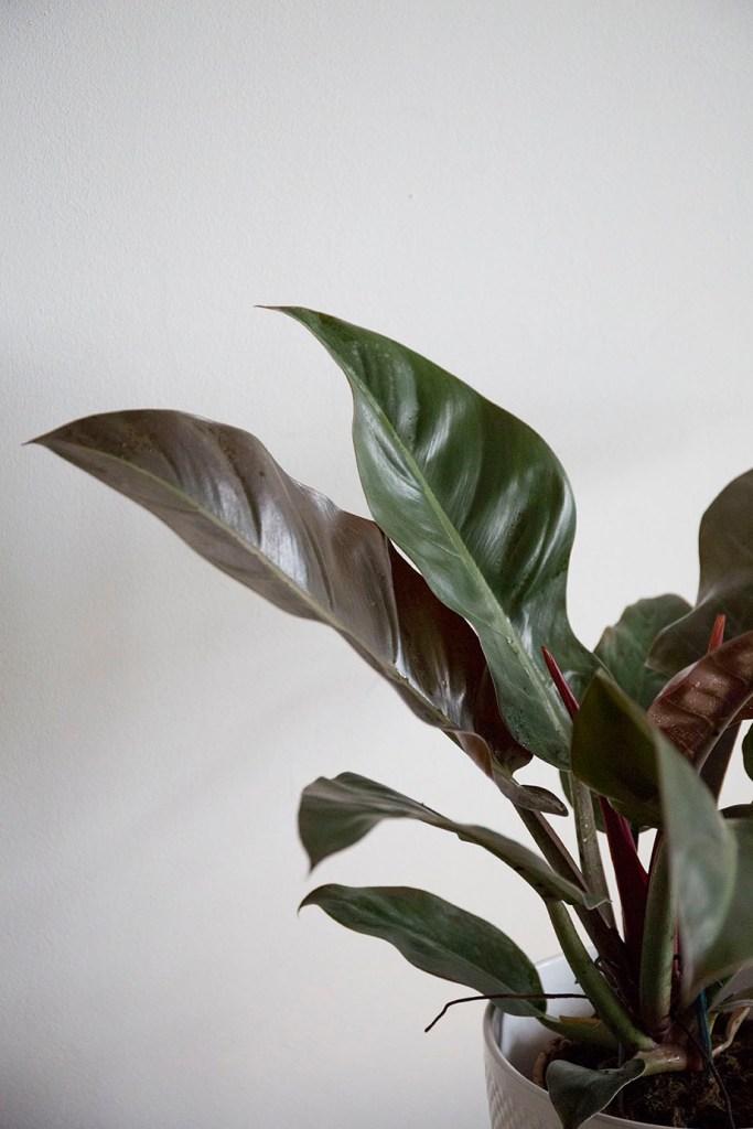 plante philodendron interieur