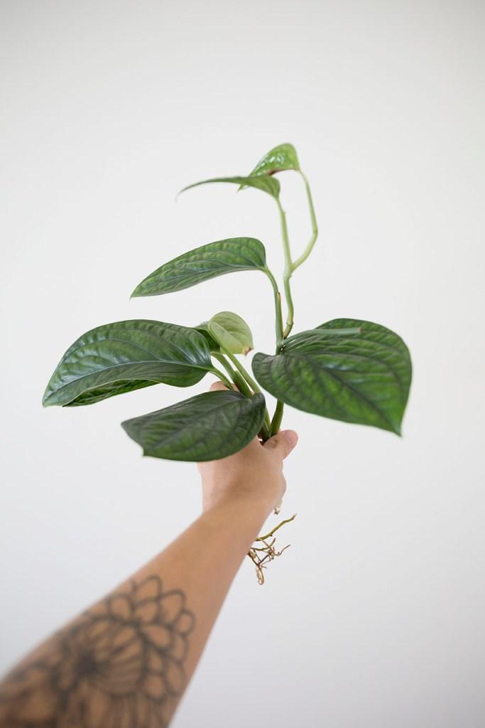 mangrove plante monsieur marguerite