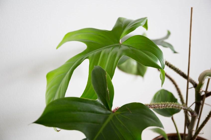 plante philodendron squamiferum